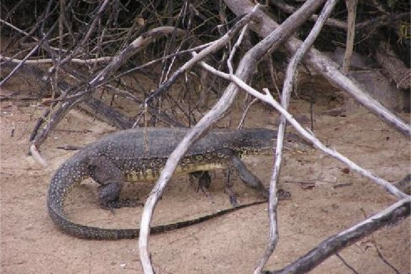 Bako National Park - Monitor Lizard