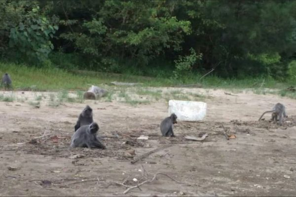 Bako National Park Monkeys